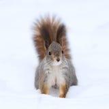 Nieuwsgierige eekhoorn Royalty-vrije Stock Afbeeldingen