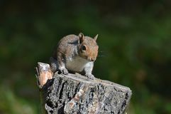 Nieuwsgierige Eekhoorn stock foto's