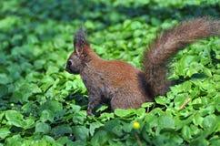 Nieuwsgierige Eekhoorn Royalty-vrije Stock Afbeelding