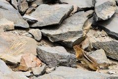 Nieuwsgierige Eekhoorn Stock Afbeelding