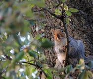Nieuwsgierige eekhoorn in boom Stock Afbeeldingen