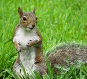 Nieuwsgierige Eekhoorn die op een pinda wachten royalty-vrije stock foto's