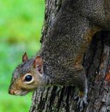 Nieuwsgierige Eekhoorn in een boom stock afbeelding
