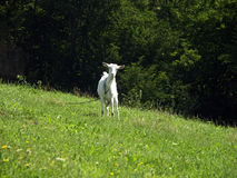 Nieuwsgierige geit Stock Afbeelding