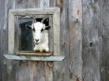 Nieuwsgierige geit Royalty-vrije Stock Foto