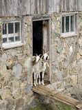 Nieuwsgierige geiten Stock Foto's