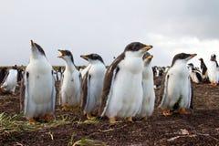 Nieuwsgierige Gentoo-Pinguïnkuikens Stock Afbeeldingen