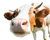 Nieuwsgierige geïsoleerde koe, Stock Foto's