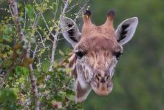 Nieuwsgierige giraf Stock Afbeeldingen
