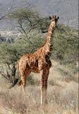 Nieuwsgierige Giraf. stock afbeeldingen