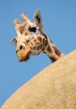Nieuwsgierige giraf die van achter een rots gluurt stock foto's