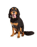 Nieuwsgierige Gordon Setter Mix Breed Dog-Zitting met Open Mond Stock Foto's