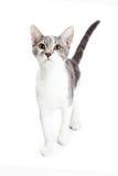 Nieuwsgierige Grijze en Witte Kitten Walking Forward stock afbeeldingen