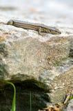 Nieuwsgierige grijze hagediszitting op zijn rotsachtig huis Royalty-vrije Stock Foto