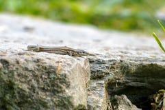 Nieuwsgierige grijze hagediszitting op zijn rotsachtig huis Royalty-vrije Stock Afbeeldingen