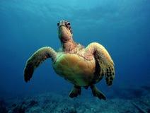 Nieuwsgierige Groene Zeeschildpad - Oahu Royalty-vrije Stock Foto