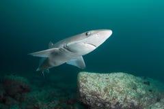 Nieuwsgierige haai Royalty-vrije Stock Afbeelding