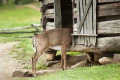 Nieuwsgierige herten Royalty-vrije Stock Foto