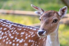 Nieuwsgierige herten Royalty-vrije Stock Foto's