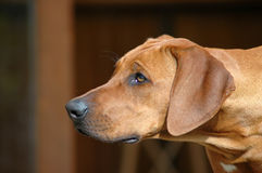 Nieuwsgierige hond Royalty-vrije Stock Foto's
