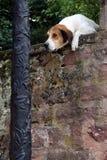 Nieuwsgierige hond die over de muur kijken stock afbeeldingen