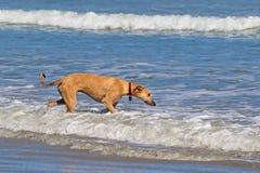 Nieuwsgierige hond die in overzees waadt royalty-vrije stock foto's