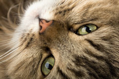 Nieuwsgierige huiskat Stock Afbeeldingen