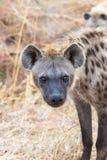 Nieuwsgierige Hyena stock foto's