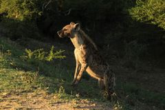 Nieuwsgierige Hyena Royalty-vrije Stock Foto's