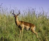 Nieuwsgierige Impala bij het Nationale Park van Kruger royalty-vrije stock afbeelding