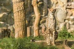 Nieuwsgierige Jachtluipaard die voorzichtig eruit zien Snel Katachtig dier Royalty-vrije Stock Afbeelding