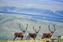 Nieuwsgierige kariboe drie royalty-vrije stock afbeelding