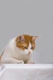 Nieuwsgierige kat Stock Foto's