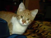 Nieuwsgierige kat royalty-vrije stock afbeelding