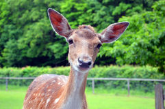 Nieuwsgierige kleine herten die de camera bekijken royalty-vrije stock fotografie