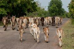 Nieuwsgierige koe Royalty-vrije Stock Foto's