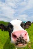 Nieuwsgierige koe stock foto's