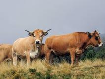 Nieuwsgierige koe die de camera bekijken stock foto's