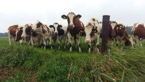 Nieuwsgierige Koeien Stock Foto's