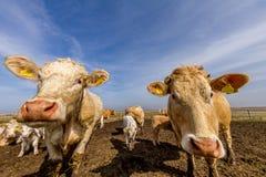 Nieuwsgierige Koeien Stock Afbeeldingen