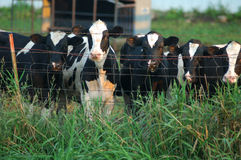 Nieuwsgierige koeien Royalty-vrije Stock Afbeelding