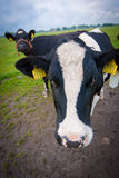 Nieuwsgierige koeien Stock Foto