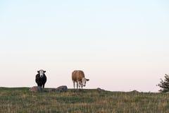 Nieuwsgierige koeien bovenop een heuvel Royalty-vrije Stock Afbeelding