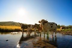 Nieuwsgierige koeien die camera bekijken Stock Afbeeldingen