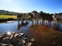 Nieuwsgierige koeien die camera bekijken Stock Afbeelding