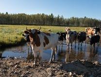 Nieuwsgierige koeien die camera bekijken Royalty-vrije Stock Foto