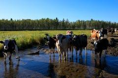 Nieuwsgierige koeien die camera bekijken Stock Fotografie
