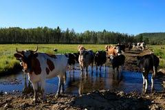 Nieuwsgierige koeien die camera bekijken Royalty-vrije Stock Foto's