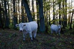 Nieuwsgierige koeien in het bos Stock Foto's