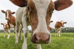 Nieuwsgierige koeien in Nederlands weiland Stock Foto